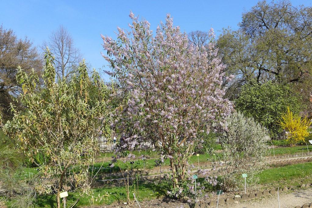 Jardin des plantes Paris-Butterfly bush