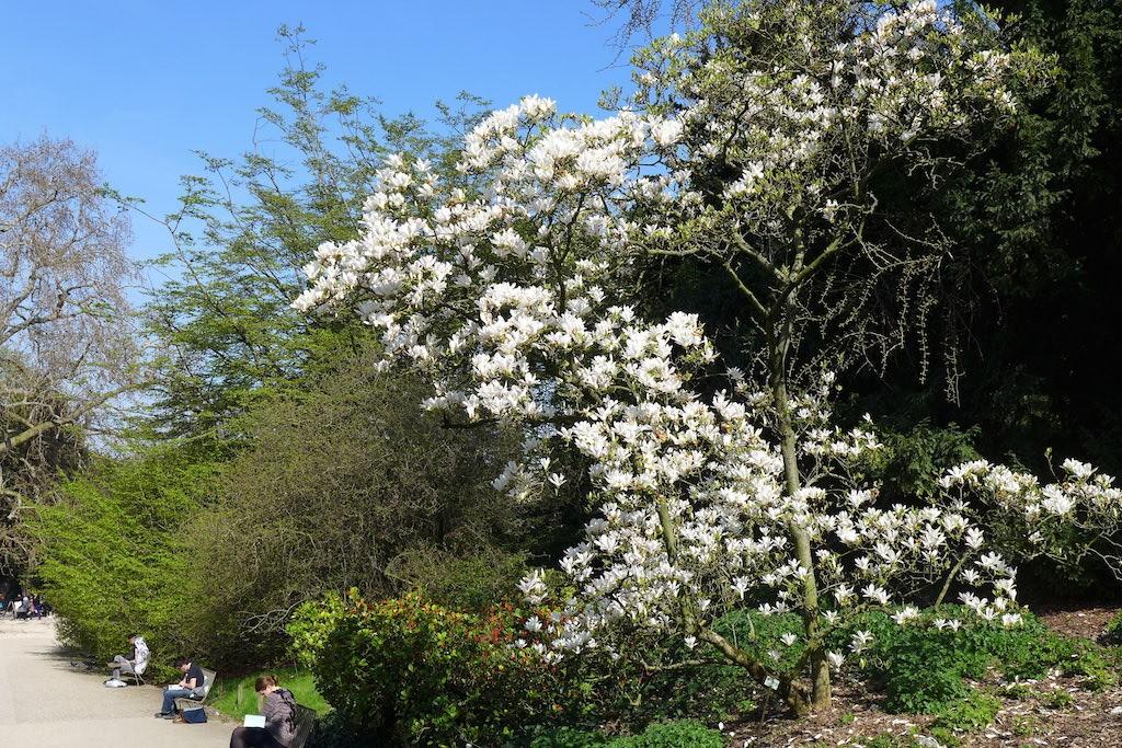 Jardin des plantes Paris-Magnolia