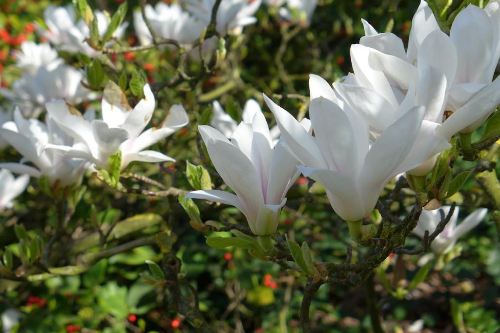 Jardin des plantes Paris-Magnolia flower