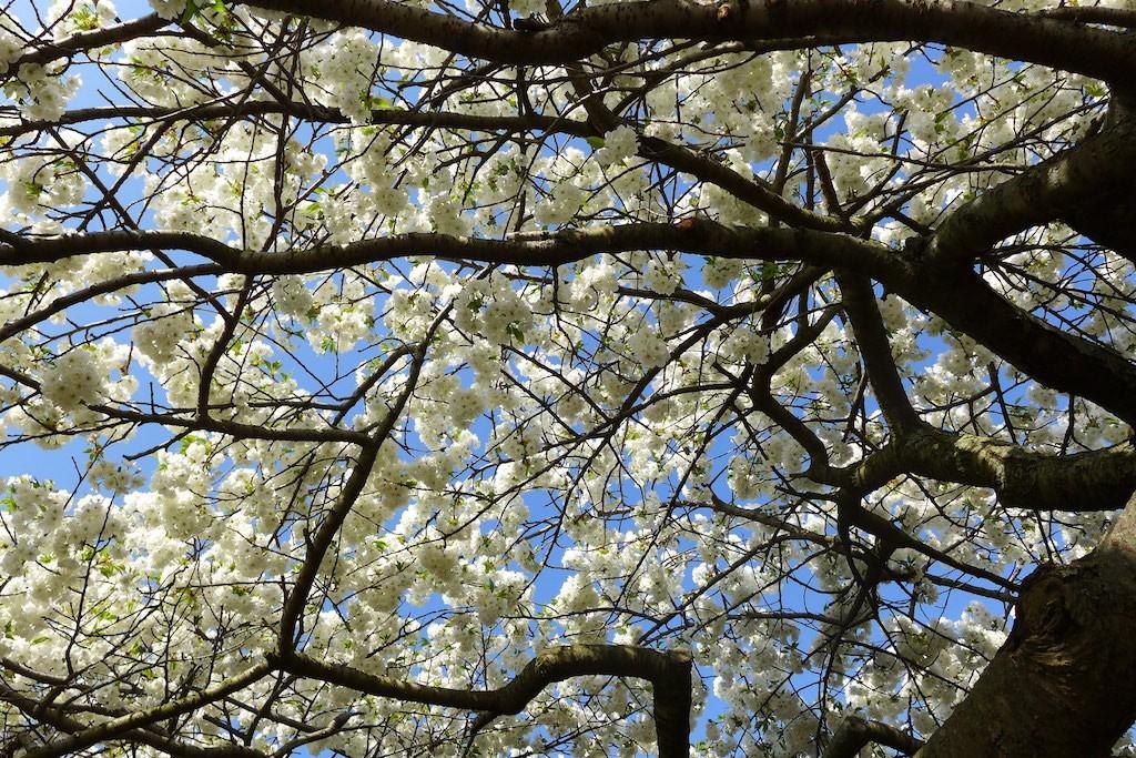 Jardin des plantes Paris-Cherry blossom