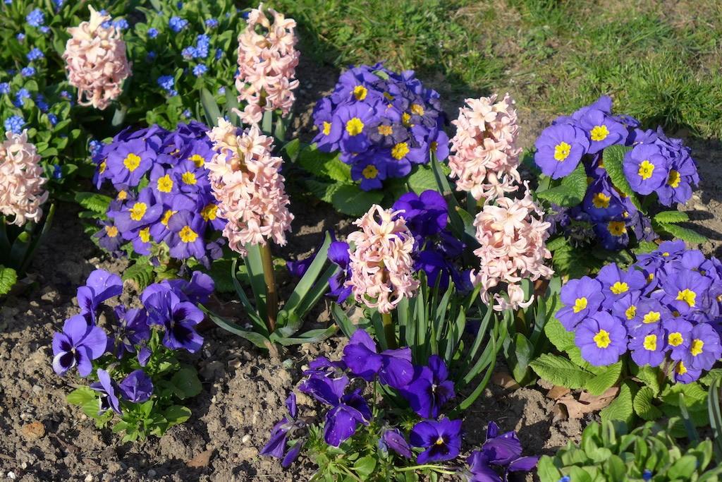 Jardin des plantes Paris-hyacinths and primroses