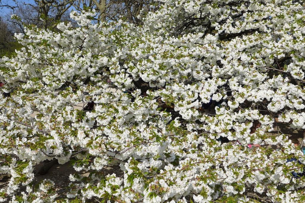 Jardin des plantes Paris-white cherry blossom