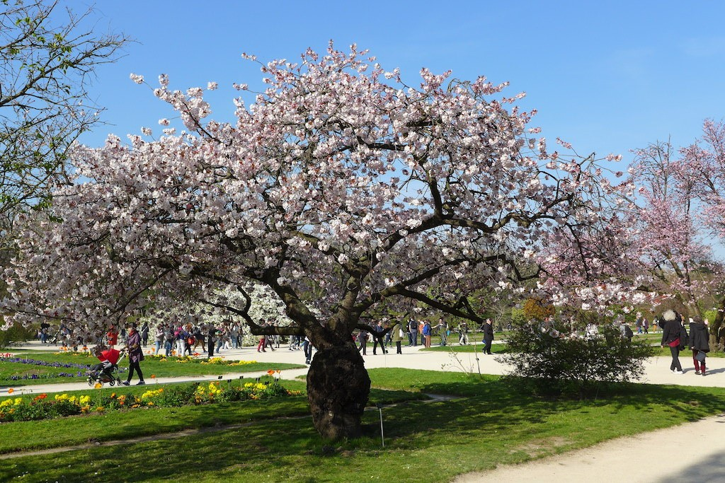 Jardin des plantes paris japanese cherry tree